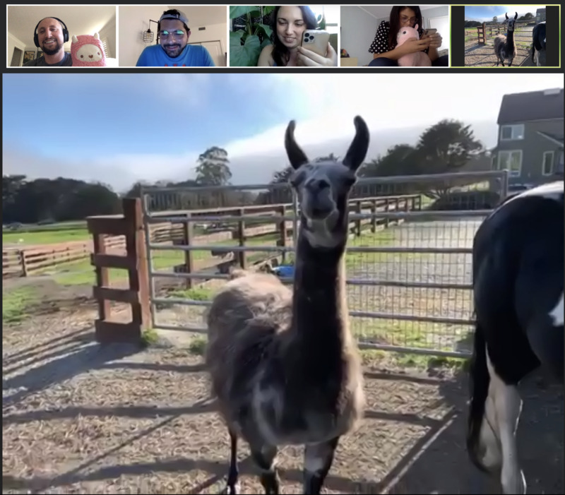 Screenshot of Zoom Trivia with Paco the Llama